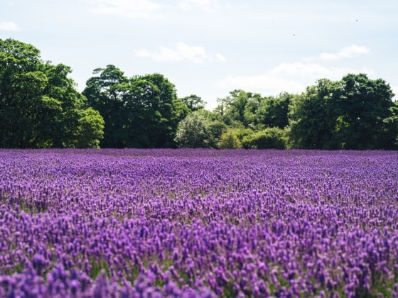 UK Caravans for hire near Lavender farms